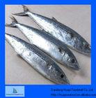 mackerel ice fish