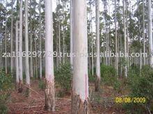 Eucalyptus grandis peeler veneer logs
