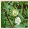 chinese plant extract Yerbadetajo Herb Extract