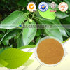 Natural Camphor Leaf Extract