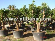 """Citrus sinensis- de color naranja del árbol"""" lanelate"""" variedad para vender en maceta de 8 litros olla"""