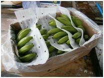 Class A Cavendish Bananas