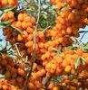 Free sample available,Seabuckthorn Fruit Oil