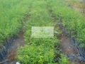 Amla. Oca bacca piante innestate( embilica officinals)