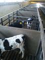 ganado de ganado