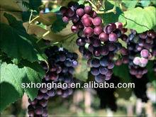 Antioxidant Herb Plant Grape Seed Extract Polyphenols