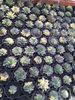 echeveria black prince variegated