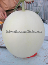 Hybrid White Peel Big Fruit Type Honey Sweet Melon Seeds For Growing In Dry Places Or Greenhouse-Fairy Snow No.9