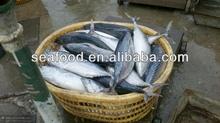 sea frozen 1000+ bonito tuna