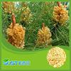 Pinus Massoniana Lamb cell wall broken Pine Pollen powder