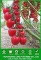 ft131 gambi di produzione ad alta f1 ibrido semi di pomodoro ciliegia