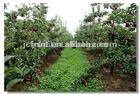 Fresh Royal gala apple fruits