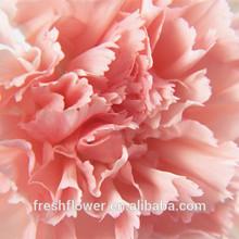 frische schnittblumen rosa nelke aus china Muttertag