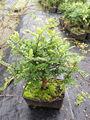 zanthoxylum odorum viveros bonsai