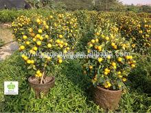 Cítricos mitis( citrofortunella microcarpa) naranja del árbol para 90-100cm planta ornamental