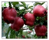2014 Fresh huaniu apple fruits for export