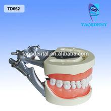 Sell Dental Orthodontics Typodont Model/dental model jaws