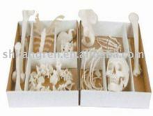 Disassembled skeleton model