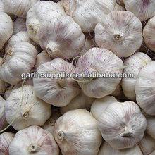 Lord Garlic-super garlic crop 2012
