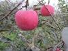 Top quality 2012 new organic fuji apple factory