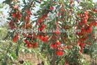 Goji berry 2013 crop