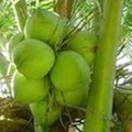 CHEAPEST PRICE OF FRESH YOUNG GREEN COCONUT FROM VIETNAM!!!