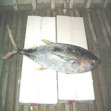 2014 new yellow fin tuna coming