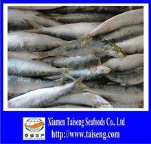 BQF Frozen Whole Sardine 2012 Sardine