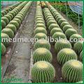 echinocactus grusonii cactus plantas ornamentales de interior las plantas suculentas