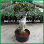 Grafted Ficus microcarpa bonsai tree indoor plant