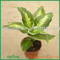 indoor tropical foliage plants - Dieffenbachia