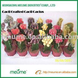 Cactus nursery indoor cactus flowering plants (Grafted red cactus plant)