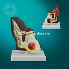 Anatomical animal ear model dog sick and health ear model canine medical ear modelA10-001