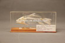 Fish skeleton model / specimen for biology teaching / biology