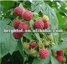 High Quality Raspberry Leaf Extract