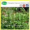 black cohosh extract/ Cimicifuga foetida L/ triterpene glycosides