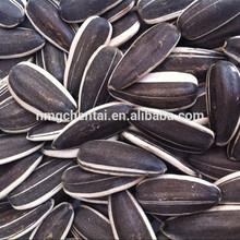 Sunflower seeds 5009 long shape