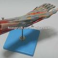 Iso modelo músculos do pé com principais navios& nervos, pé de anatomia modelo
