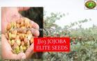 Jojoba Farm Fresh High Grade Superior Seeds with 50% oil content