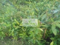 (Jamun) janbu grafted fruit plants ( Syzygium cumini )