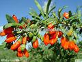 ягоды годжи шамбала своими руками