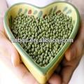 2013 neue sprießen grüne mungobohnen
