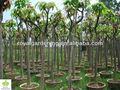 Mangifera indica( mango tree) plantastropicales