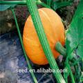 de color naranja sol chino de semilla de calabaza