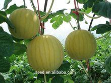 Jaune pastèque sans pépins semences hybrides golden sun
