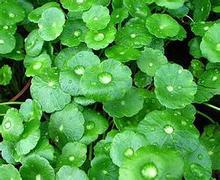 gotu kola seed , 100% Natural Gotu Kola Extract 10%~80% Triterpenes