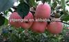 Shandong China 2014 new crop red fresh fuji apple