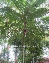 Pasak Bumi/Tongkat Alit Extract/ Penawarpahit-We guarantee our high quality