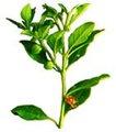 Ashwagandha extrato 10: 1,3% anti-alérgicos, anti histamina