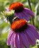 high quality Pharmaceutical ingredients Echinacea Purpurea Extract powder in bulk